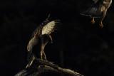 Birds of Scandinavia