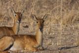 Puku (Antelope)