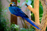 Blue-and-yellow Macaw also known as Blue-and-gold Macaw