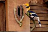 Great hornbill (Great Indian hornbill/Great pied hornbill