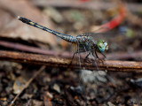 Dragonfly - Magnificent emperor