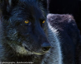 001_sedona-wolf-week-plan-b.jpg