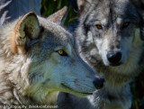 002_sedona-wolf-week-plan-b.jpg