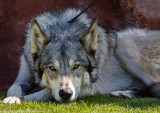 015_sedona-wolf-week-plan-b.jpg