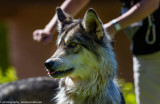 016_sedona-wolf-week-plan-b.jpg