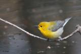Paruline orangée  / Protonotaria citrea / Prothonotary Warbler