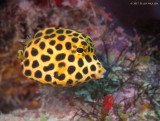 Juvenile Spotted Trunkfish