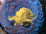 Yellow Frogfish in Azure Vase Sponge