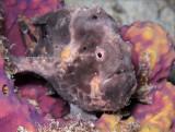 Gray Frogfish