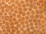 BLushing Star Coral