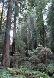 Sequoia sempervirens, Coast Redwoods