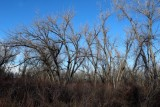 Plains Cottonwoods