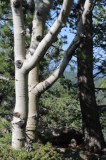 A Pair of Aspens
