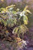 Honey Mesquite, Prosopis glandulosa