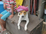 Kolkata stray dog
