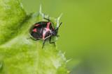 wee harlequin bug 061817_MG_8622