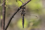 dragonfly 060318_MG_1928
