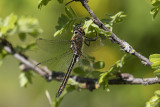 dragonfly 060318_MG_2048