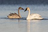 trumpeter swans 102118_MG_7016
