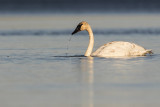 trumpeter swan 102118_MG_7197