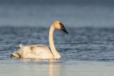 trumpeter swan 102118_MG_7276
