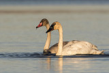 trumpeter swans 102118_MG_7650