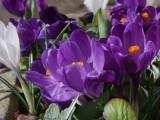Crocus planter, Brookhouse
