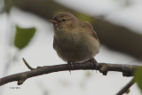 Chiffchaff, Potteric Carr, Yorkshire