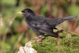 Blackbird, Sumburgh Quarry, Mainland, Shetland
