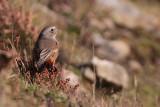 Common Redstart, Sumburgh Quarry, Mainland, Shetland