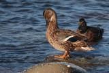 Mallard, Grutness, Mainland, Shetland