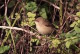Reed Warbler, Sumburgh Quarry, Mainland, Shetland