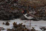 Oystercatcher (Siberian?), Sandwick, Mainland, Shetland