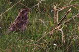Rustic Bunting, Melby, Mainland, Shetland