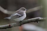 Pied Flycatcher, Sandgarth, Mainland, Shetland