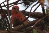 Parrot Crossbill, Setters Hill-Baltasound, Unst, Shetland
