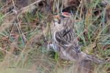 Mealy Redpoll, Clingera-Baltasound, Unst, Shetland
