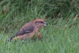 Parrot Crossbill, Lerwick, Mainland, Shetland