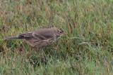 Buff-bellied Pipit, Grutness, Mainland, Shetland