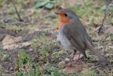 Robin, Sumburgh Quarry, Mainland, Shetland