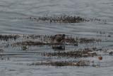 Otter, Boddam, Mainland, Shetland