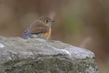 Red-flanked Bluetail, Isbister-North Roe, Mainland, Shetland