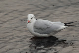 Black-headed Gull, Cardwell Bay-Gourock, Clyde