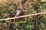 Black-headed Cuckooshrike, near Kithulgala, Sri Lanka