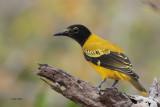 Black-hooded Oriole, Yala NP, Sri Lanka