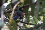 Blue Magpie (E), near Kithulgala, Sri Lanka