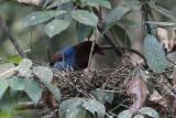 Blue Magpie (E), Sinharaja, Sri Lanka