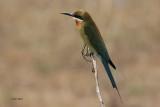 Blue-tailed Bee-eater, Uda Walawe NP, Sri Lanka