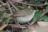 Blyth's Reed Warbler, Victoria Park - Nuwara Eliya, Sri Lanka