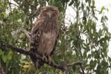 Brown Fish Owl, Uda Walawe NP, Sri Lanka